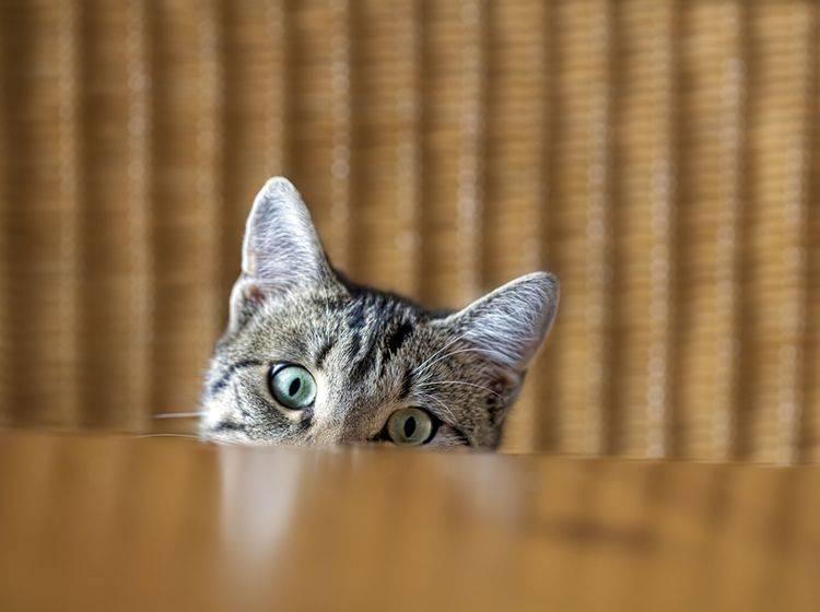 Kann man Katzen mit Wasserpistole und Sprühflasche vom Esstisch fernhalten? – Shutterstock / Dirk Ott