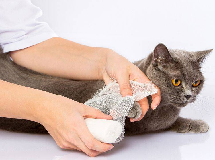 Eine Verletzung ist oft der Grund, wenn die Katze humpelt – Bild: Shutterstock / Sergey Gerashchenko