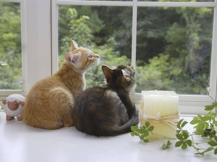 Mit Spielkameraden fällt Katzen das Alleinsein leichter – Bild: Shutterstock / KPG Payless2