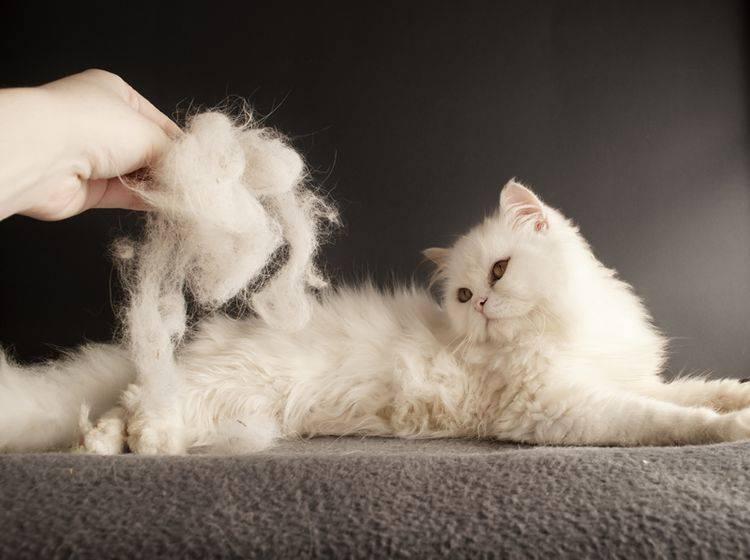 Langhaarige Katzen sind anfälliger für verfilztes Fell – Bild: Shutterstock / DreamBig
