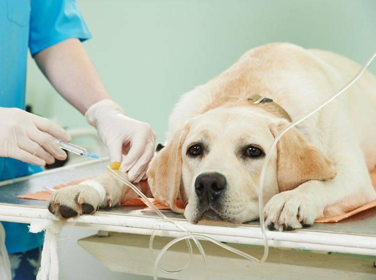 Der Labrador neigt zu Gelenkbeschwerden – Bild: Shutterstock / Dmitry Kalinovsky
