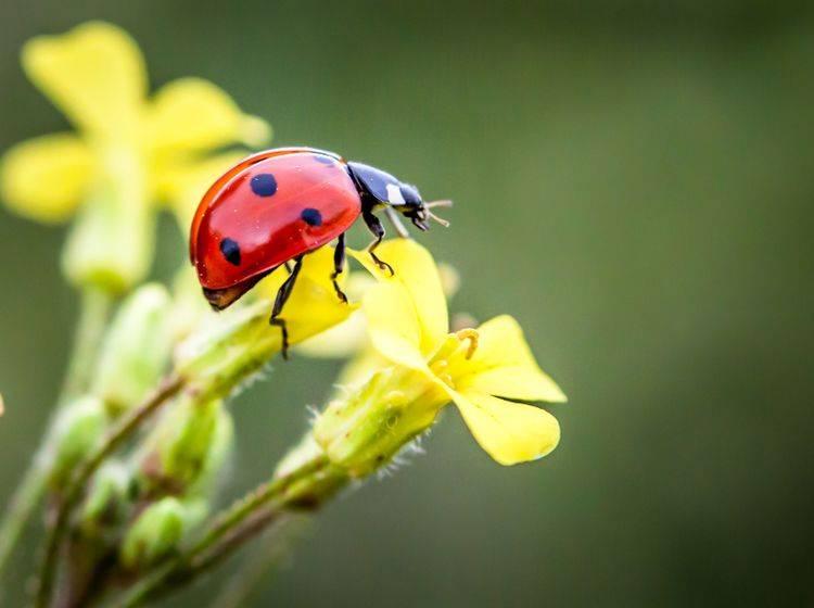 Marienkäfer gehören zur Ordnung der Käfer und sind in verschiedenen Farben zu finden ... – Bild: Shutterstock / Petar Milevski