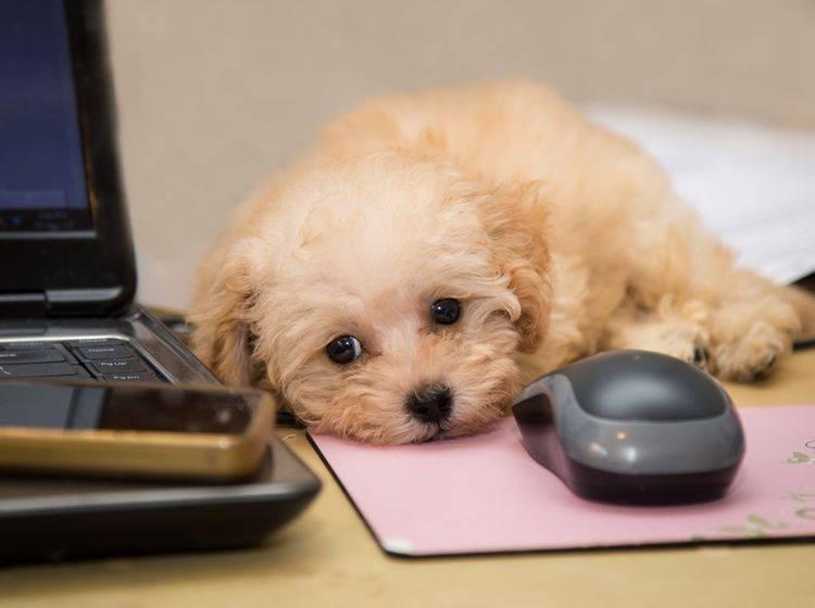 Berufstätig? Vielleicht darf Ihr Hund mit ins Büro? – Bild: Shutterstock / ThamKC