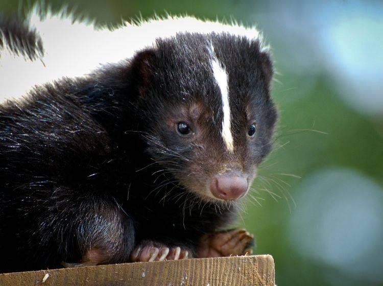 Skunks, auch Stinktiere genannt, gehören zur Familie der Raubtiere – Bild: Shutterstock / Heiko Kiera