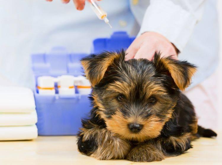 Yorkshire Terrier sind für bestimmte Krankheiten anfällig – Bild: Shutterstock / gorillaimages