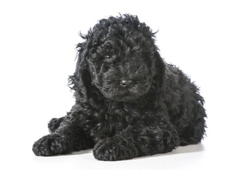Freundlicher und verspielter Hund: Der Barbet – Bild: Shutterstock / WilleeCole Photography
