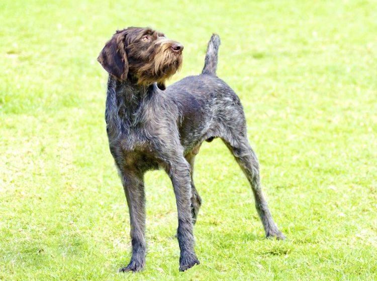 Deutsch Drahthaar: Ein aufmerksamer Hund – Bild: Shutterstock / f8grapher