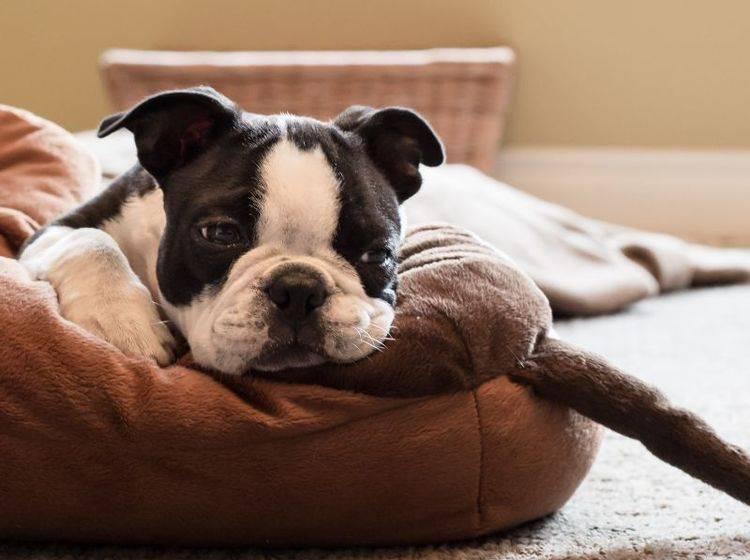 franzoesische-bulldogge-welpe-lernt-alleine-bleiben-shutterstock-C_Gara