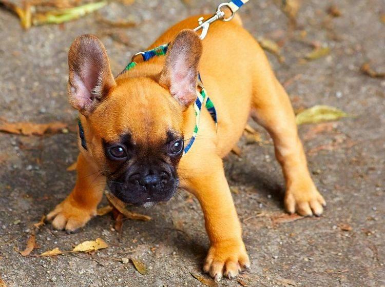 Die ersten Spaziergänge sind aufregend für einen Welpen – Bild: Shutterstock / Dariush M