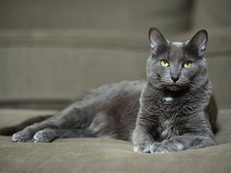 Eine Schönheit: Die Korat-Katze – Bild: Shutterstock / R. Gino Santa Maria