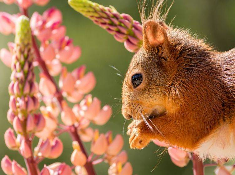 Schön sommerlich und gemütlich sieht es bei Hörnchen Nummer 1 aus – BIld: Shutterstock / geertweggen