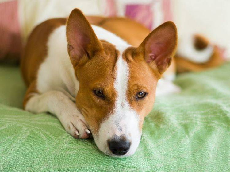 Hunde sind gesellig: Zu lange alleine zu Hause sein ist langweilig – Bild: Shutterstock / Yuri Kravchenko