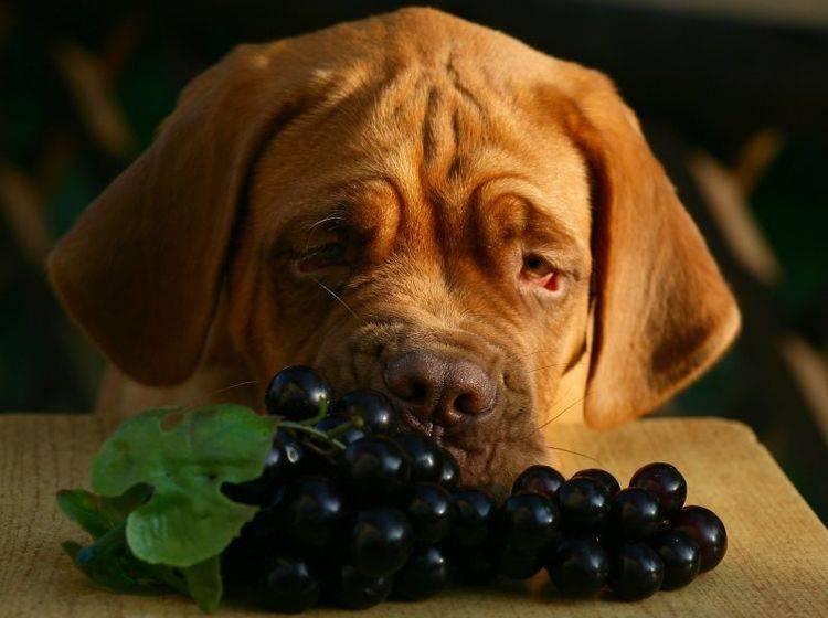Das Fressen von Weintrauben kann gefährlichen Folgen für Hunde haben – Bild: Shutterstock / Artem Kursin