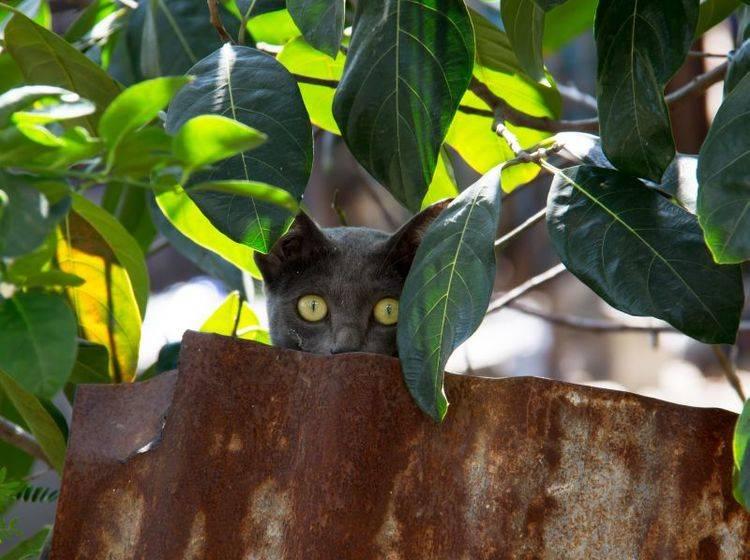 Spielen, toben, anschleichen: Das macht der Korat-Katze Spaß – Bild: Shutterstock / PJjaruwan