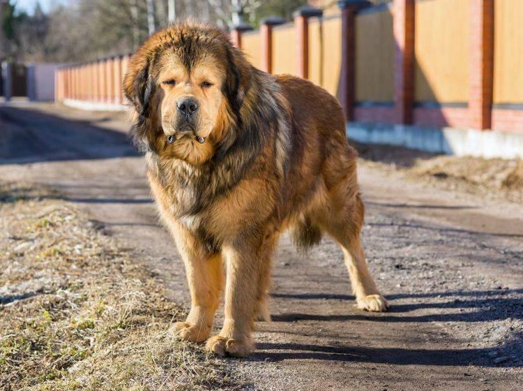 Gut aufzupassen ist für die wachsame Tibetdogge selbstverständlich – Bild: Shutterstock / Sergey Lavrentev
