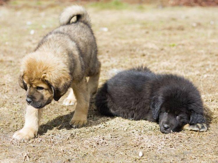 Ist genug Platz vorhanden? Eine wichtige Frage vor der Anschaffung einer Tibetdogge – Bild: Shutterstock / Sergey Lavrentev