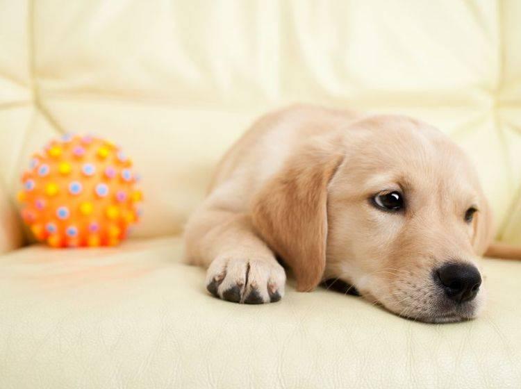 Langweilig für den Welpen: Alleine zu Hause bleiben – Bild: Shutterstock / In Tune