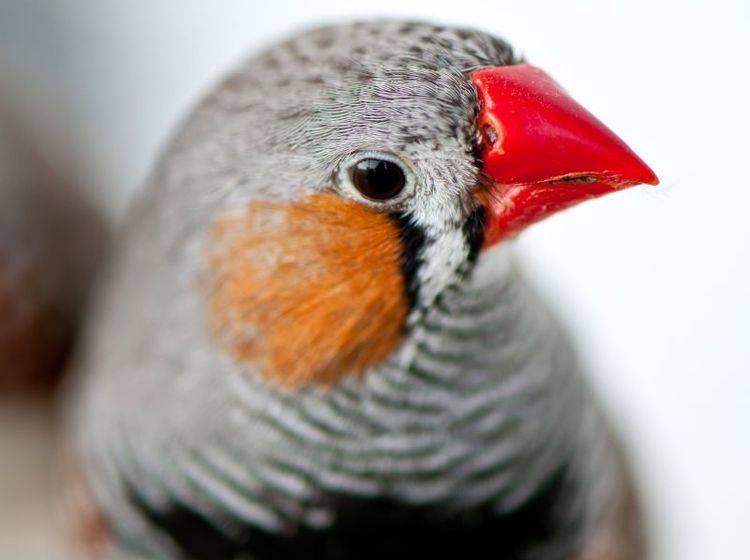 Hübsches Kerlchen: Der erste Zebrafink in unserer Runde zeigt sich von ganz Nah – Bild: Shutterstock / In Green