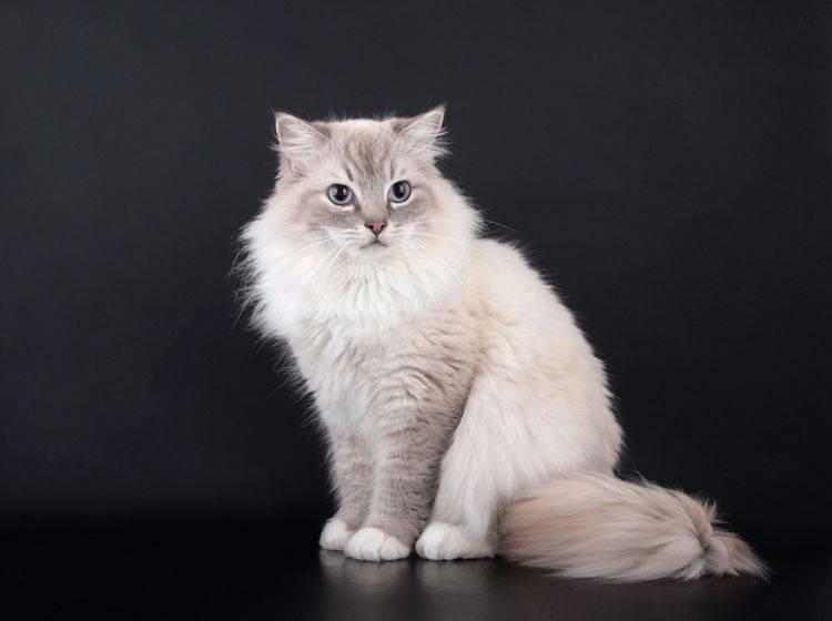 Diese zauberhafte Birma-Katze hat wunderschöne blaue Augen – Bild: Shutterstock / Krissi Lundgren