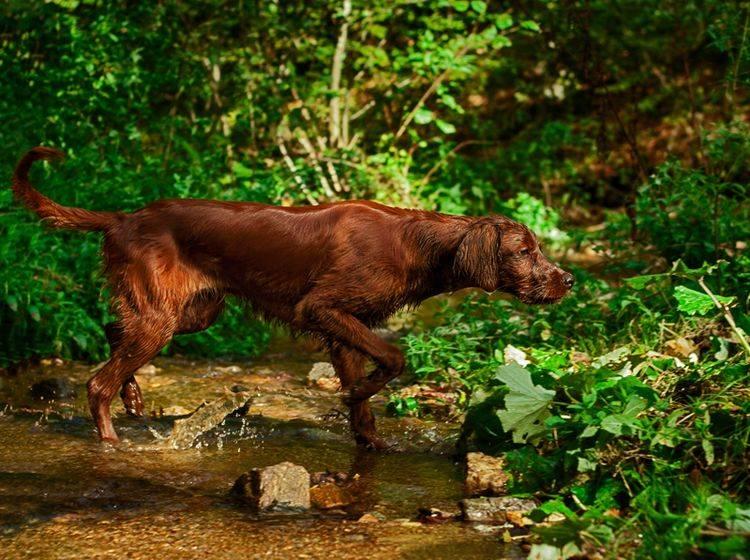 Konzentration! Dieser Jagdhund hat eine Spur gewittert – Bild: Shutterstock / Rad Radu