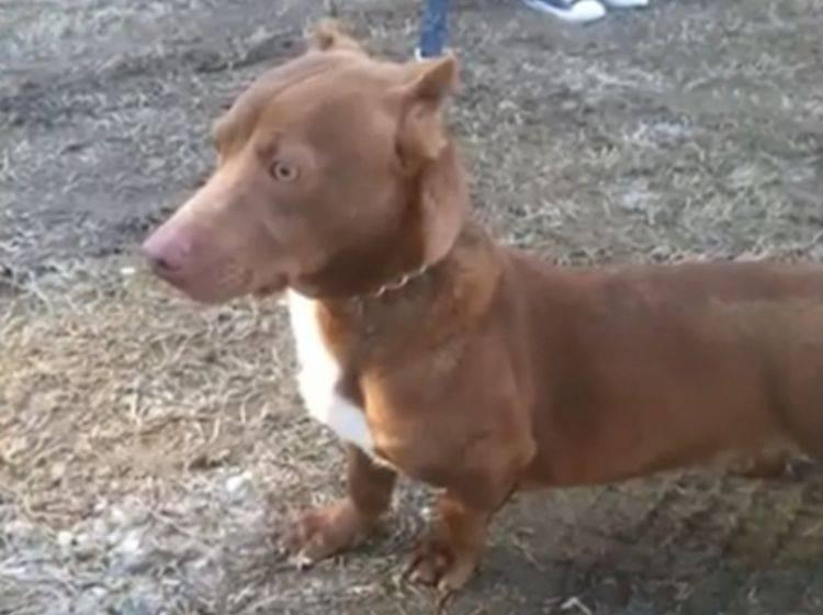 Pitbull-Dackel Rami begeistert Tierliebhaber – Bild: Telekom