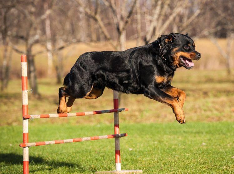 Dieser sportliche Vierbeiner hat Spaß auf dem Hundespielplatz – Bild: Shutterstock / Rita Kochmarjova