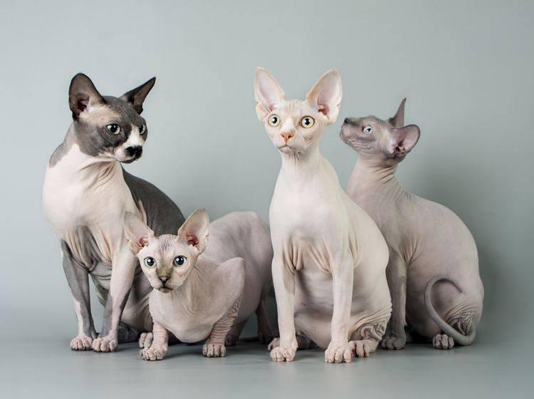 Auch diese süße Sphynx-Bande gehört zu den Katzenrassen ohne Fell – Bild: Shutterstock / Asichka