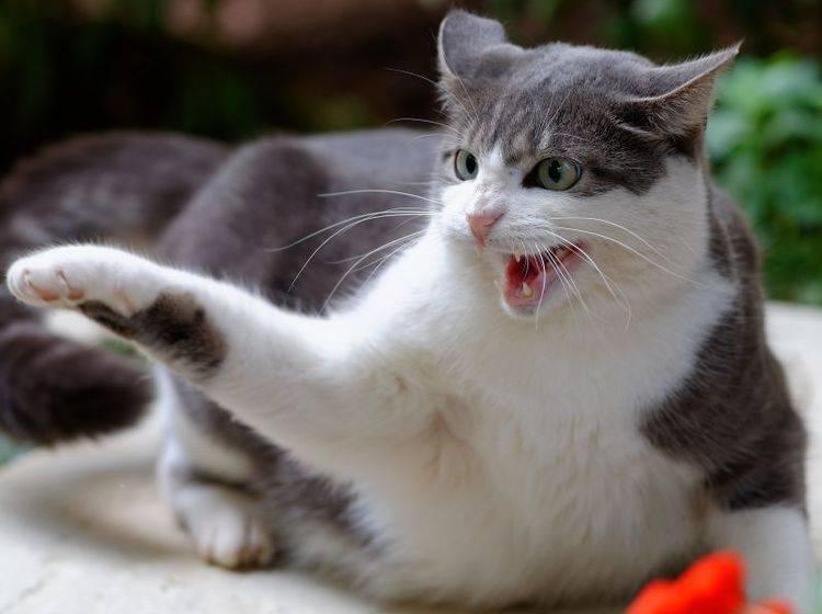Abstand halten und vorsichtig beruhigen: Das ist wichtig bei einer aggressiven Katze – Bild: Shutterstock / Alun Marchant