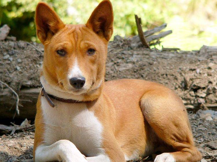 Der Basenji ist ein kluger, neugieriger Hund – Bild: Shutterstock / Nikita Tiunov