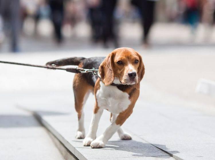 Hunde, die an der Leine ziehen, haben es oft nicht anders gelernt – Bild: Shutterstock / Christian Mueller