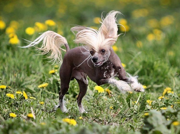 Draußen toben, das macht dem Chinesischen Schopfhund Spaß – Bild: Shutterstock / DragoNika