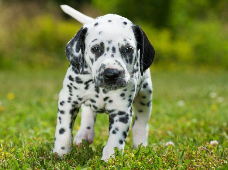 Dieser kleine Dalmatinerwelpe muss noch viel lernen – Bild: Shutterstock / Dora Zett