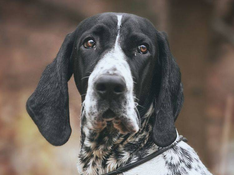 english-pointer-hund-charakter-shutterstock-Denisa Doudova