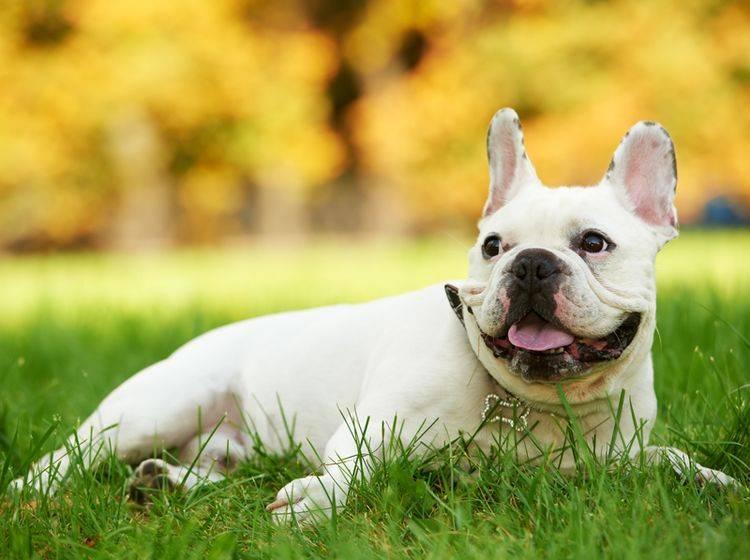 Die französische Bulldogge ist ein liebenswerter Charakter – Bild: Shutterstock / Dmitry Kalinovsky