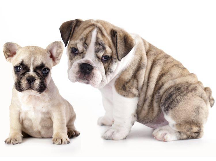 Wer ist süßer: Die französische oder englische Bulldogge? – Bild: Shutterstock / Liliya Kulianionak