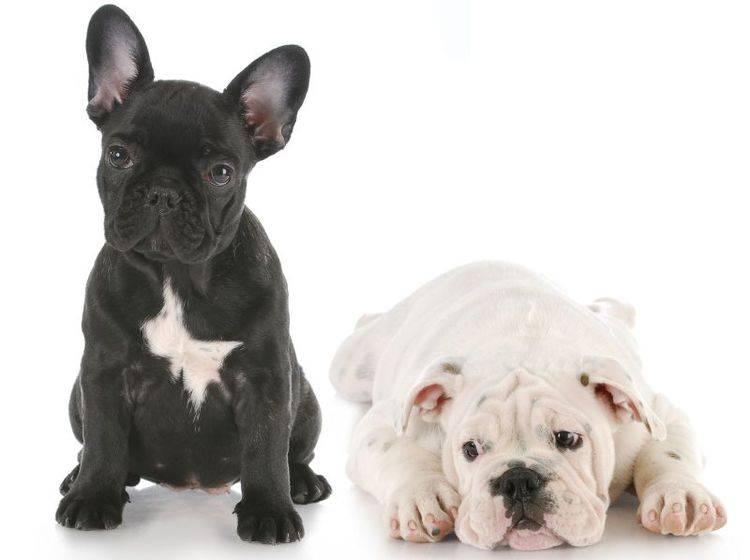 Die Französische und die Englische Bulldogge – Bild: Shutterstock / WilleeCole Photography