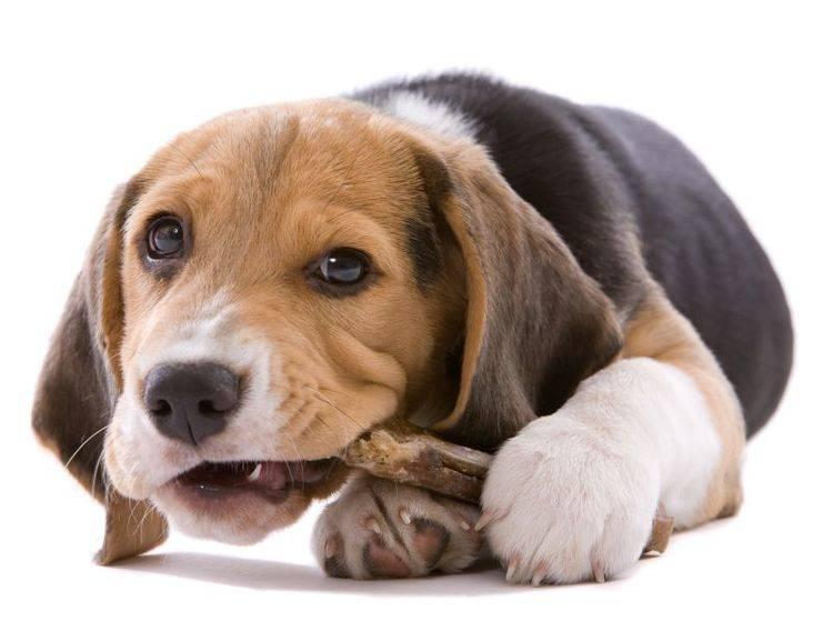 Hunde lieben Knochen – beim Füttern sollte aber einiges beachtet werden – Shutterstock / Simone van den Berg