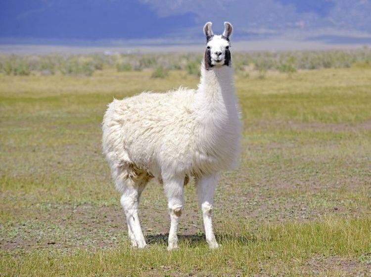 Wollig und mit frechem Blick: So kennt man das Lama – Bild: Shutterstock / robert cicchetti