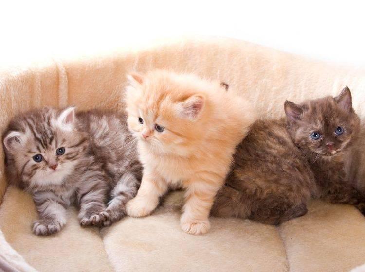 Diese Britisch-Langhaar-Kitten gehören zu den Langhaarkatzenrassen – Shutterstock / Utekhina Anna