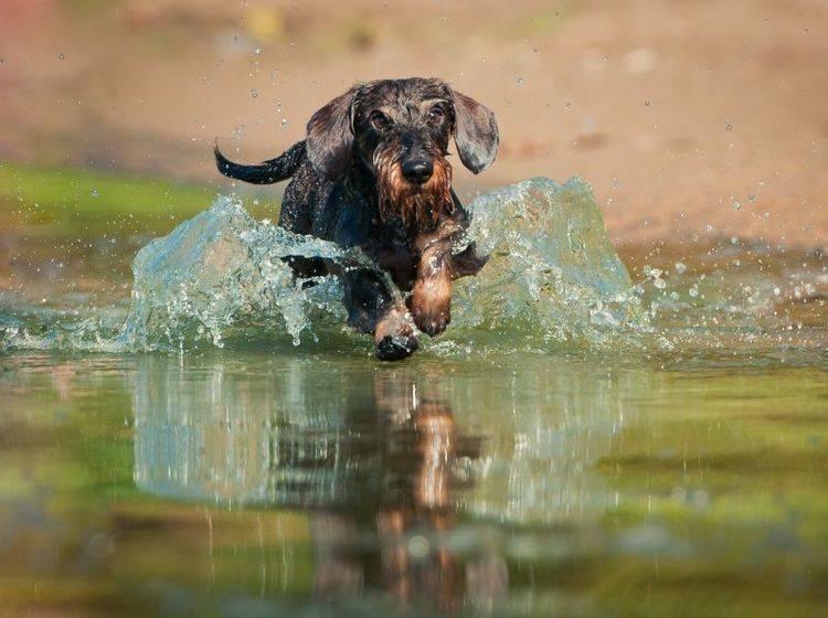 """""""Achtung, jetzt komm ich!"""" Der Rauhaardackel ist ein munteres Energiebündel mit Jagdtrieb – Bild: Shutterstock / Maria Ivanushkina"""
