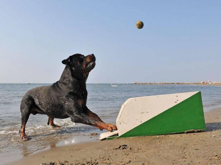 Spiel, Spaß und Geschicklichkeit: Flyball für den Hund – Bild: Shutterstock / cynoclub