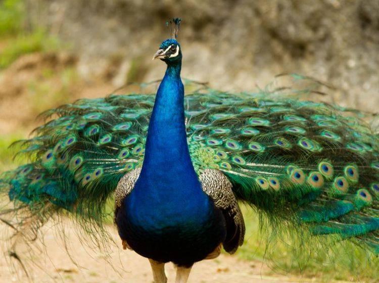 Der Pfau: Ein großer, majestätischer und kunterbunter Vogel – Bild: Shutterstock / bierchen