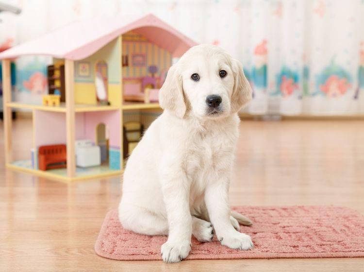 Ein Vierbeiner kommt ins Haus? Vor dem Hundekauf gibt es viel zu beachten – Bild: Shutterstock / Olimpik
