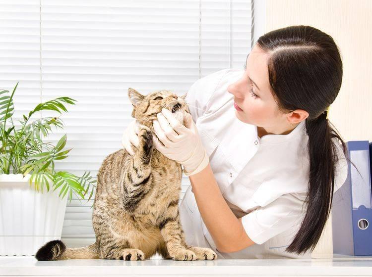 Eine blaue Zunge ist bei Katzen stets ein Fall für den Tierarzt – Bild: Shutterstock / Sonsedska Yuliia