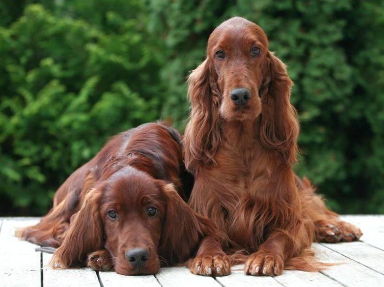Rüde oder Hündin – was passt besser zu Ihnen? – Bild: Shutterstock / Reddogs