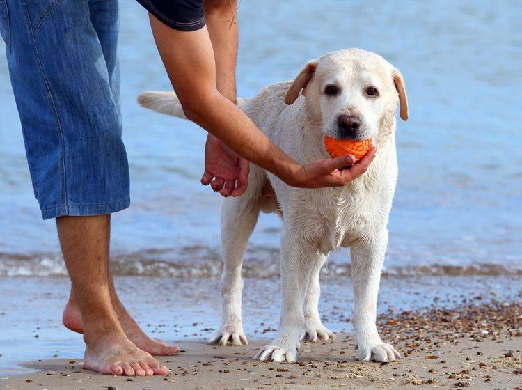 Der Labrador freut sich über spielerische Aktivitäten - Bild: Shutterstock / Omelianenko Anna