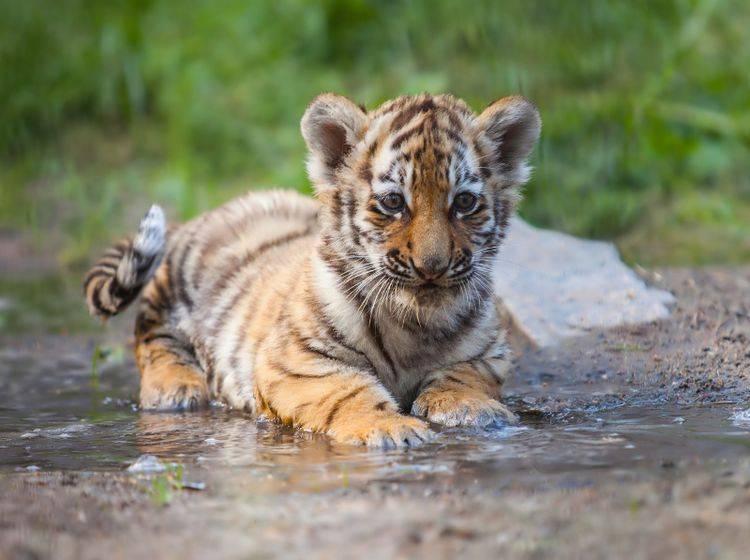 """""""Ihr denkt, Tigerbabys sind süß? Stimmt, aber wir können auch sehr frech und neugierig sein!"""" – Bild: Shutterstock / Zhiltsov Alexandr"""