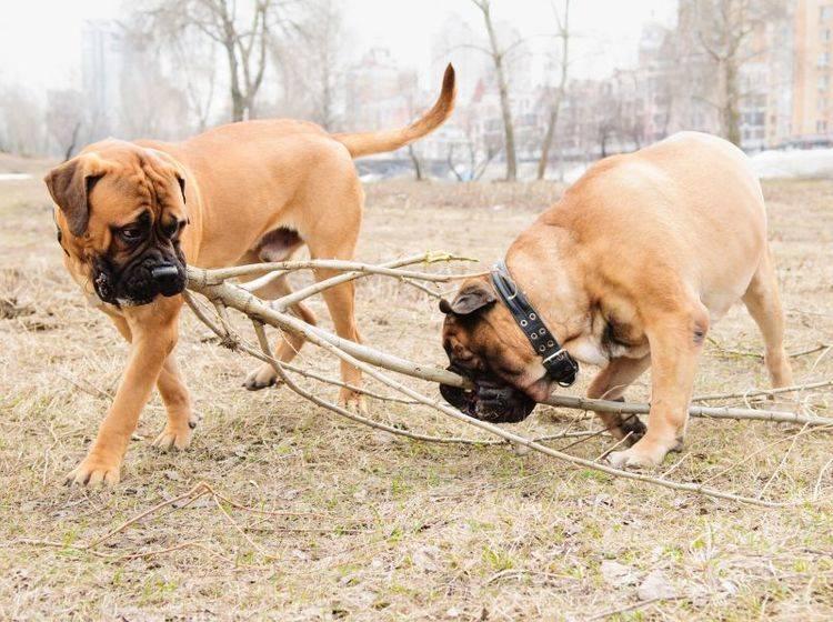 Genießt die Zeit in der Natur: Der Bullmastiff – Bild: Shutterstock / Inna Astakhova