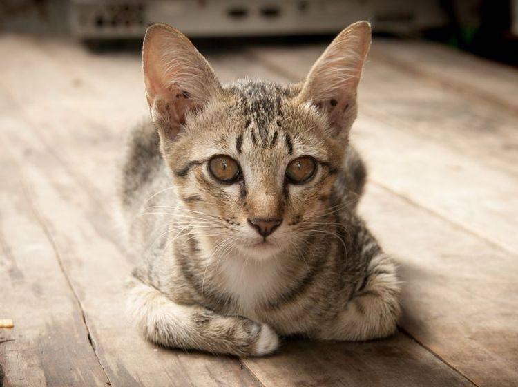 Was braucht eine zu dünne Katze, um wieder auf ihr Normalgewicht zu kommen? – Bild: Shutterstock / Yanukit