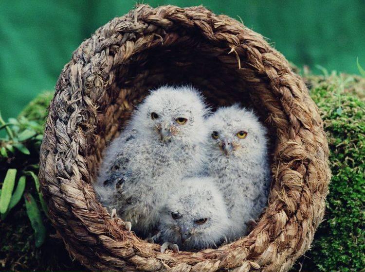 Im Nest kuscheln und sich die Welt anschauen: Diese Eulen sind noch klein – Bild: Shutterstock / wizdata